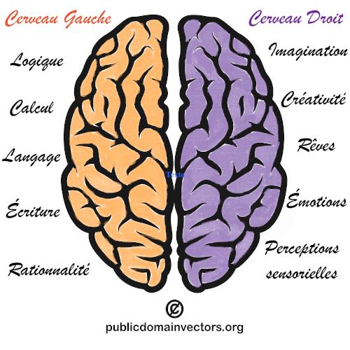 image schématisée du cerveau où sont expliqués les domaines liés au cerveau gauche et au cerveau droit.